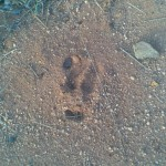 Antbear Tracks