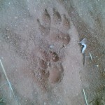 large hyeana tracks in soft sand