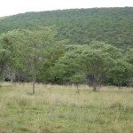 Silver Terminalia trees