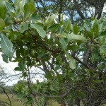 Slender branchlets, Terminalia sericea