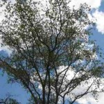 Looking up at a Silver terminalia tree