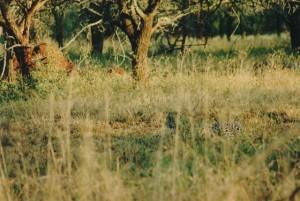 leopard-mfs