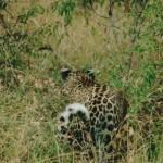leopard, AmaZulu Game Reserve