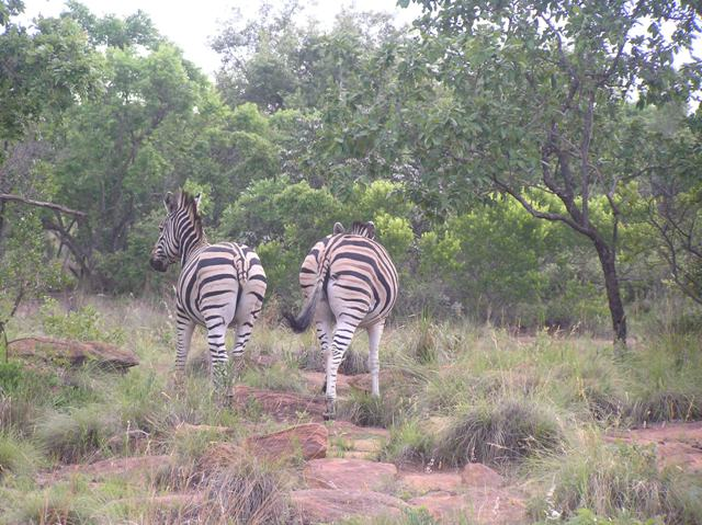 zebra on the left lost half its tail