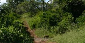 Zululand, african wild dog sighting