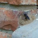 felmale wasp inserting her abdomen into the mud nest