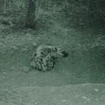 spotted hyena, near den