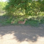 Impala and lamb resting