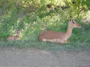 beautiful antelope