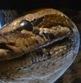 python-head