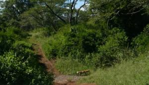 brief sighting of African wild dog, zululand